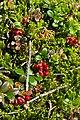 Брусника - Cowberry, Gorod Zlatoust, Chelyabinsk Oblast, Russia.jpg