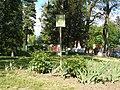 Група рідкісних дерев на розі Головної та Буковинської.JPG