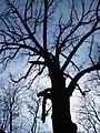 Дерево-Сокольники-Помірки.JPG