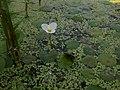 Жабурник звичайний на Пулемецькому озері.jpg