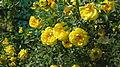 Жовті троянди.JPG