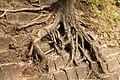 """Коріння старого дерева в парку """"Високий замок"""".JPG"""