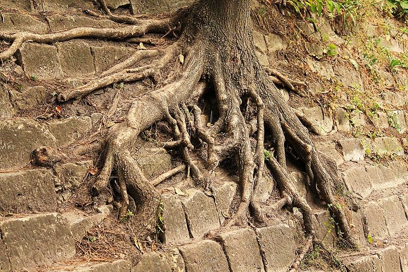 Коріння старого дерева в парку «Високий замок». Автор фото — Людмила Голуб [ліцензія CC-BY-SA-4.0]