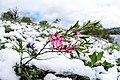 Мигдаль в снігу.jpg