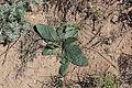 Растение на горе Богдо.jpg