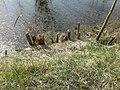 Річка Стохід,парк відпочинку навесні, дерева погризені бобрами 03.jpg