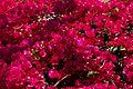 פרחים בישראל (60).JPG