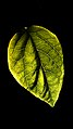 برگ-leaf 01.jpg