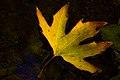 برگ زرد-پاییز-yellow leaves-falling leaves-fall 05.jpg