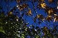 برگ زرد-پاییز-yellow leaves-falling leaves 17.jpg