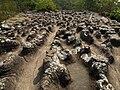 ลานหินปุ่ม ณ อุทยานแห่งชาติภูหินร่องกล้า.jpg