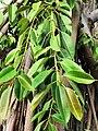 印度橡膠榕 Ficus elastica 20201007182924 03.jpg