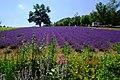 夢工房さとう 幌観峠ラベンダー園(Horomi Pass lavender garden) - panoramio.jpg