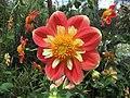 大麗花-衣領型 Dahlia 'Collerette' -新加坡濱海灣花園 Gardens by the Bay, Singapore- (24656534912).jpg