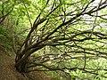 怪树 - panoramio.jpg