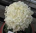 日本厚物菊-太平靜觀 Chrysanthemum morifolium Japanese-spoon-series -中山小欖菊花會 Xiaolan Chrysanthemum Show, China- (9229877708).jpg
