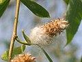 柳(垂柳)-雌花 Salix babylonica -揚州瘦西湖 Yangzhou, China- (9219894933).jpg