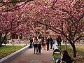 河南农业大学的樱花 - Cherry Blossoms in Henan Agricultural University - 2014.03 - panoramio.jpg