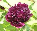 牡丹-黑繡球 Paeonia suffruticosa 'Black Embroidered Ball' -菏澤百花園 Heze, China- (12537115315).jpg