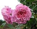 玫瑰 Katherine Mansfield -紐西蘭 Tauranga Robbins Park, New Zealand- (45861999244).jpg