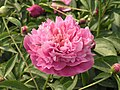 芍藥-百園之秀 Paeonia lactiflora 'Excellency of Hundred-Gardens' -瀋陽植物園 Shenyang Botanical Garden, China- (12380296993).jpg