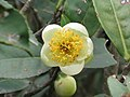 茶 Camellia sinensis -香港西貢獅子會自然教育中心 Saikung, Hong Kong- (9237446735).jpg