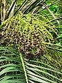 軟葉刺葵 Phoenix roebelenii 20201013101916 05.jpg