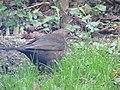 -2018-12-14 Female blackbird, Trimingham.JPG
