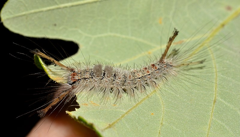 Southern Tussock Moth Caterpillar