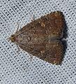 - 9070 – Amyna axis – Eight-spot Moth (15358530451).jpg