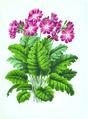 040-Primula cortusoides.tif