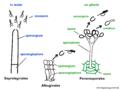 07 07 asexual structures, Saprolegniales, Albuginales, Peronosporales, Oomycota (M. Piepenbring).png