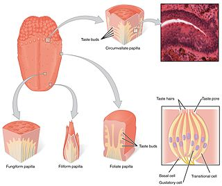Taste bud specialized receptor organ located in the epithelium of the papillae of the tongue and in the soft palate, epiglottis, and pharynx