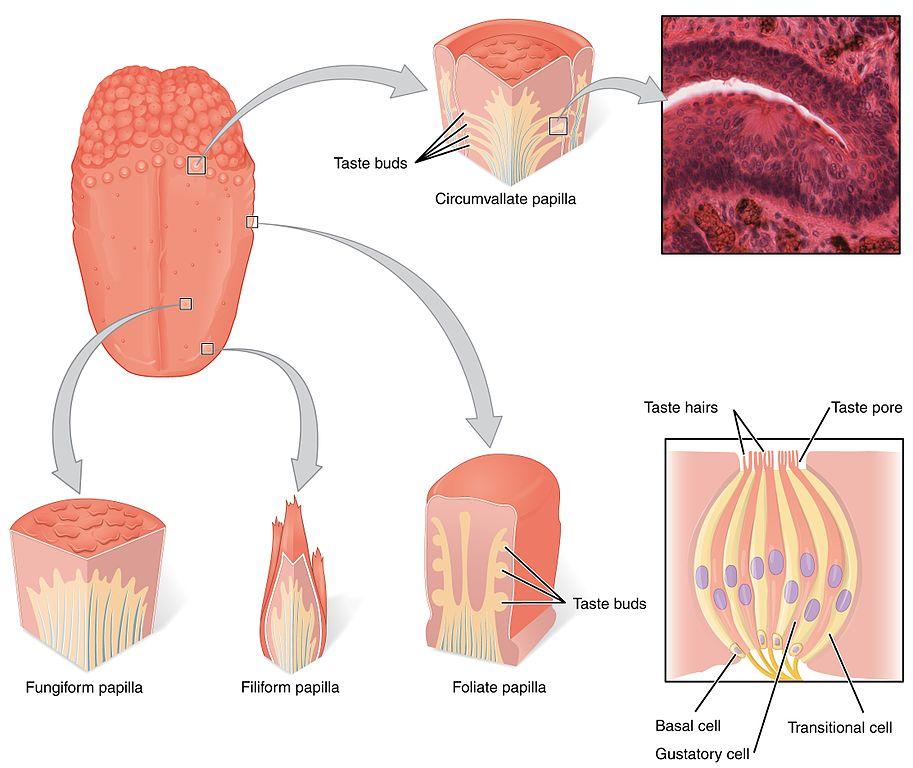 I de knottriga papillerna på tungan sitter smaklökarna.