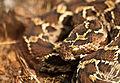 15.Saw Scaled Viper.jpg