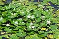 170811 Rokko Alpine Botanical Garden Kobe Japan12s3.jpg