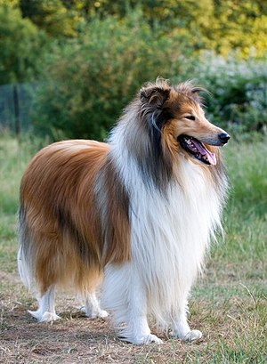 Rough Collie - Sable Rough Collie