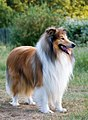 1Dog-rough-collie-portrait.jpg