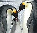 2007 Snow-Hill-Island Luyten-De-Hauwere-Emperor-Penguin-64.jpg