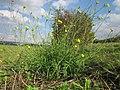 20120922Diplotaxis tenuifolia2.jpg