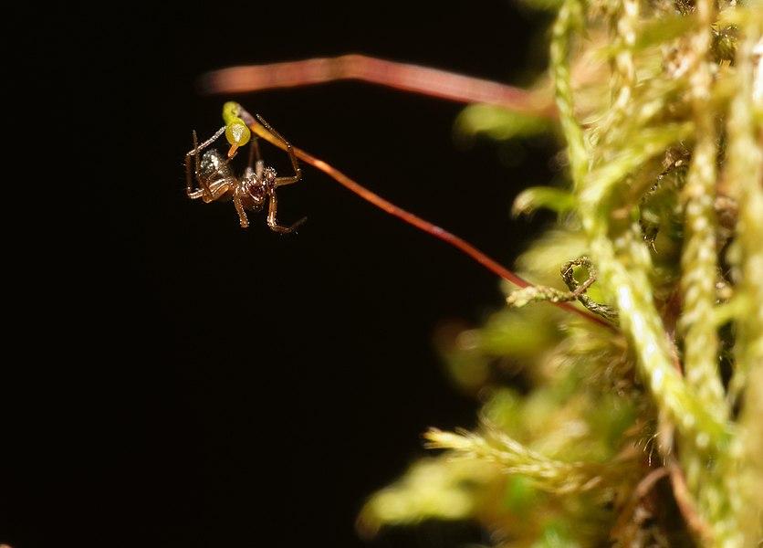 This file was uploaded  with Commonist.    Araignée (Araneae sp.) sur une sporange de mousse (Bryophyta sp.).  Image prise avec la bonnette Raynox DCR-250.