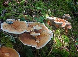 2014-08-02 Hydnellum aurantiacum (Batsch) P. Karst 441904.jpg