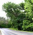20150531 avc krzyzowiec quercus pomnik-pano-a-crp-adj.jpg