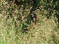 20150705Agrostis capillaris1.jpg