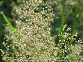 20160624Agrostis capillaris1.jpg