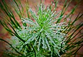 2018-04-28 Dew drops on the pine.jpg