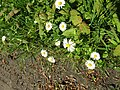 2018-05-05 Daisy's (Asteraceae), Banville Lane, East Runton.JPG