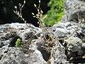 20180826Arenaria serpyllifolia.jpg