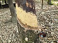 20200208 105504 Rubber plantation Bago Division, Myanmar anagoria.jpg