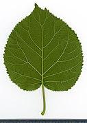 2020 year. Herbarium. Hydrangea arborescens. img-026.jpg